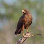 2430 Harris's Hawk (Parabuteo unicinctus)