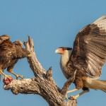 2431 Crested Caracara and Harris's Hawk Fighting over Food