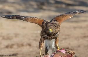 2432 Immature Harris's Hawk Feeding