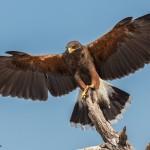 2433 Harris's Hawk (Parabuteo unicinctus)
