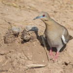2434 White-winged Dove (Zenaida asiatica)