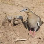 2434 White-winged Dove (Zenaida asiatica)