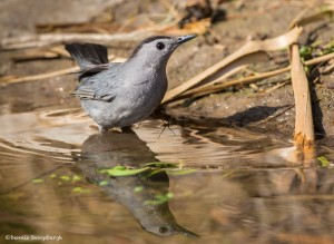 2436 Gray Catbird (Dumetella carolinensis)