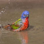 2436 Male Painted Bunting (Passerina ciris) Bathing