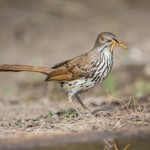 2439 Long-billed Thrasher (Toxostoma longirostre)