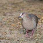 2441 White-tipped Dove (Leptotila verreauxi)