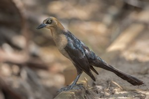 2442 Female Great-tailed Grackle (Quiscalus mexicanus)