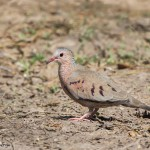 2444 Common Ground-Dove (Columbina passerina)