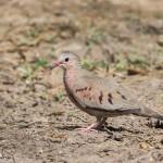 2444 Common Ground-Dove (Columbina passerina)
