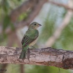2448 Female Painted Bunting (Passerina ciris)