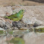 2449 Female Painted Bunting (Passerina ciris), Martin Refuge, TX