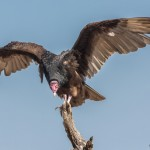 2454 Turkey Vulture (Cathartes aura)
