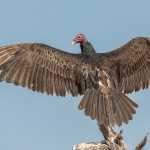 2455 Turkey Vulture (Cathartes aura)