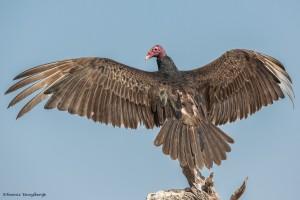 2455 Turkey Vulture (Cathartes aura)