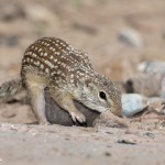 2458 Spotted Ground Squirrel (Spermophilus spilosoma)
