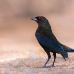 2459 Male Bronzed Cowbird (Molothrus aeneus)