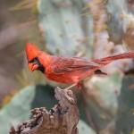 2460 Male Northern Cardinal (Cardinalis cardinalis)