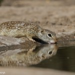 2462 Spotted Ground Squirrel (Spermophilus spilosoma)