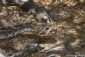 2466 Western Diamondback Rattlesnake (Crotalus atrox)