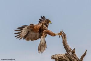 2467 Harris's Hawk (Parabuteo unicinctus)