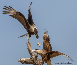 2469 Crested Caracaras, Adult and Immature