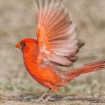 2474 Male Northern Cardinal (Cardinalis cardinalis)