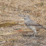 2475 Curved-billed Thrasher (Toxostoma curvirostre)