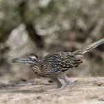 2477 Greater Road Runner (Geococcyx californianus)