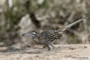 2477 Greater Road Runner (Geococcyx californianus)