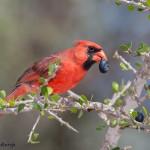 2476 Male Northern Cardinal (Cardinalis cardinalis)