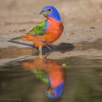 2479 Male Painted Bunting (Passerina ciris)