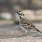 2483 Lark Sparrow (Chondestes grammacus).