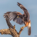 2485 Harris's Hawk (Parabuteo unicinctus)