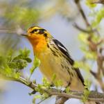 2487 Blackburnian Warbler (Dendroica fusca)