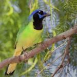2489 Green Jay (Cyanocorax yncas)