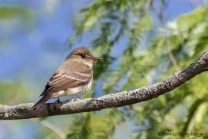 2490 Eastern Wood-Pewee (Contopus virens)