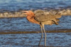 2493 Reddish Egret (Egretta rufescens)