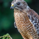 2494 Red-shouldered Hawk