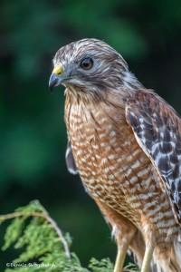 2494 Red-shouldered Hawk