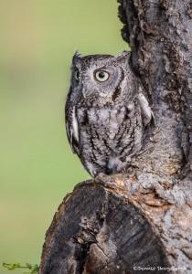 2495 Eastern Screech-Owl (Megascops asio)