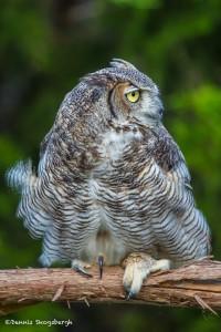 2496 Great Horned Owl (Bubo virginianus), Southwest var.