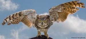2497 Great Horned Owl (Bubo virginianus)