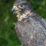 2498 Peregrine Falcon (Falco peregrinus)