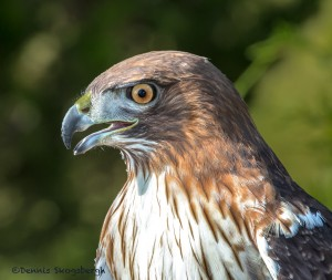 2499 Red-tailed Hawk (Buteo jamaicensis)