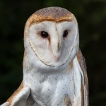 2500 Barn Owl (Tyto alba)