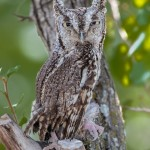2501 Eastern Screech-Owl (Megascops asio)