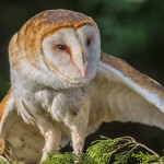 2502 Barn Owl (Tyto alba)