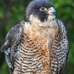 2503 Peregrine Falcon (Falco peregrinus)