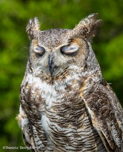 2504 Great Horned Owl (Bubo virginianus)