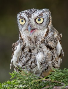 2505 Eastern Screech-Owl (Megascops asio)